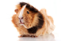 Cavy on white background Royalty Free Stock Photos