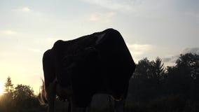 Caw στο βίντεο ηλιοβασιλέματος απόθεμα βίντεο