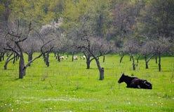 Caw e carneiros em um prado Fotografia de Stock Royalty Free