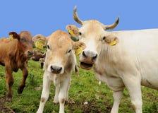 Caw feliz e vitela Imagem de Stock Royalty Free