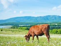 Caw in field Stock Photo