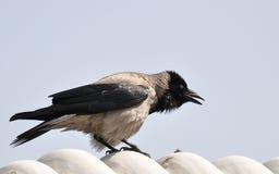 Cawing ворона Стоковое Фото