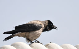 Cawing Crow. A black and beige crow cawing at competitors on white undulating rooftop Stock Photo