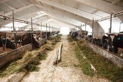 Caws στη σειρά, που αναπαράγει στο βιο αγρόκτημα Στοκ φωτογραφία με δικαίωμα ελεύθερης χρήσης