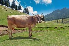 Caws в подавать луга Стоковое Изображение RF