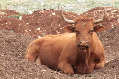 Caws в поле Стоковые Изображения RF