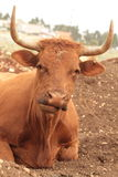 Caws в поле Стоковая Фотография