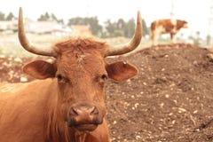 Caws в поле Стоковое фото RF
