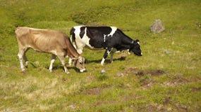 Caws стоя на луге Стоковое Фото