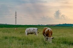 Caws eating grass in the field with power lines nearby in Romania.  royalty free stock image