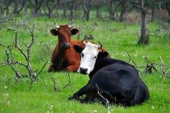 Caws in un prato Immagini Stock Libere da Diritti