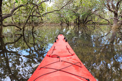 Cayaking in a mangrove forest Royalty Free Stock Image