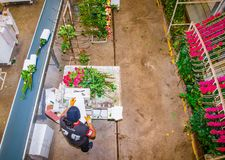 CAYAMBE, ECUADOR - NOVEMBER, 30, 2017: Above view of unidentified man working inside of a flower factory on beautiful. Roses bouquets, empaqued and classifying royalty free stock photo