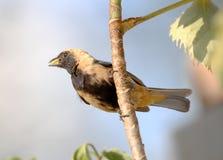 Cayana del tangara del pájaro en rama con el fondo natural Imágenes de archivo libres de regalías