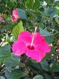 Cayenne blomma Royaltyfria Foton