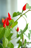 Cayenne (capsicum) plant. Cayenne (capsicum) plant - red peppers and green blurred background royalty free stock photos
