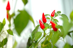 Cayenne (capsicum) plant. Cayenne (capsicum) plant - red peppers and green blurred background stock photography