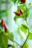 Cayenne (capsicum) plant - red and green peppers. Cayenne (capsicum) plant - red and green peppers and green blurred background stock photos