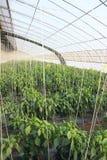 Cayenne cieplarnia zdjęcie stock