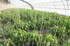 Cayenne hothouse Royalty Free Stock Images
