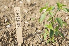 cayenne pieprzu roślina Fotografia Stock