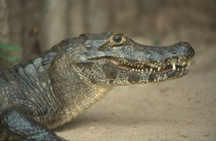 Cayman. Close up of the head and jaws of a Cayman in the Brazilian Pantanal stock image