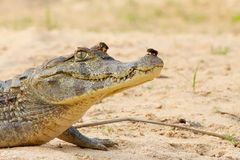 Cayman Alligator with Beetle on Nose Royalty Free Stock Photography