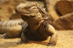 Cayman brac iguana. The Lesser Caymans Iguana or Cayman Brac Iguana or Cayman Island Brown Iguana or Sister Isles Iguana (Cyclura nubila caymanensis) is a royalty free stock images
