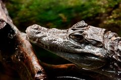 Cayman (Caiman) Stock Photography