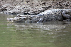 Cayman in Costa Rica. The head of a crocodile Stock Image