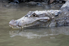 Cayman in Costa Rica. The head of a crocodile Stock Photo