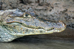 Cayman in Costa Rica. The head of a crocodile (alligator) closeup Royalty Free Stock Photography