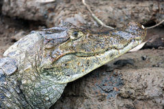 Cayman in Costa Rica. The head of a crocodile (alligator) closeup Royalty Free Stock Image