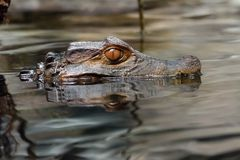 Cayman head in water. Cayman, alligator, croc, gator, reptile, swim, hunt, water, stealth, silent, wait, predator, scale, scales Royalty Free Stock Photography