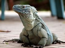 A Cayman Islands Blue Iguana Stock Image