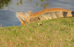 Cayman- Islandsgrüner Leguan Stockbild