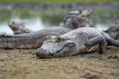 Cayman. On Pantanal (Brasil stock photo