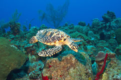 Cayman's turtle Stock Images