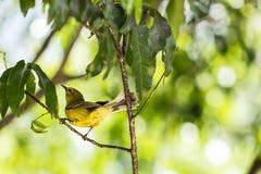 Cayman Yellow Warbler Royalty Free Stock Photos