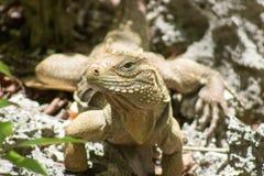Caymanian skały iguana fotografia stock