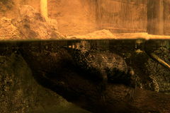 Caymen Crocodile under water. Caymen Crocodile in a natural aquarium model stock photo