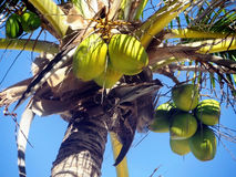cayo椰子古巴guillermo结构树 免版税库存图片