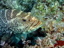 Tropical grouper in the waters of Cayo Largo. Cayo Largo, Cuba - mar 2016 : a beautiful tropical grouper that overlooks its lair in the waters of Cayo Largo Royalty Free Stock Photo