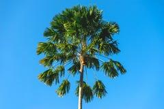 cayokokosnötcuba guillermo tree Arkivbild