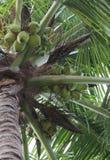 cayokokosnötcuba guillermo tree Royaltyfri Foto
