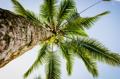 cayokokosnötcuba guillermo tree Arkivfoto