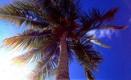 cayokokosnötcuba guillermo tree Royaltyfri Fotografi