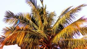 cayokokosnötcuba guillermo tree Royaltyfria Foton
