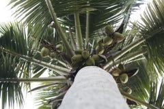 cayokokosnötcuba guillermo tree royaltyfri bild