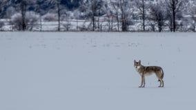 Cayote wędrówek pole po Lodowej burzy 2013 obrazy royalty free